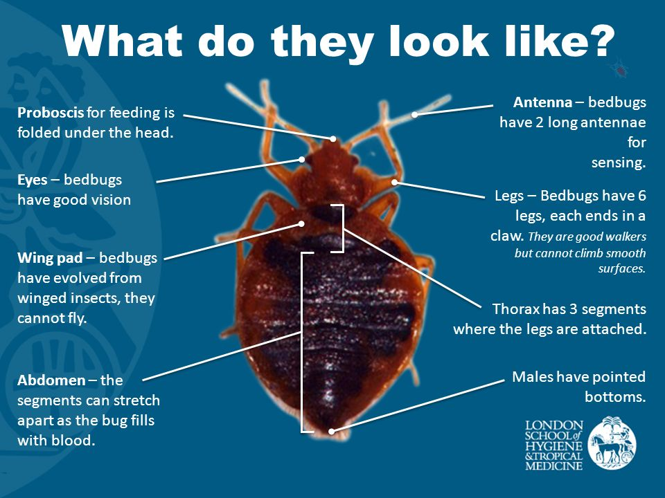 Bedbugs Improving Health Worldwide Ppt Download