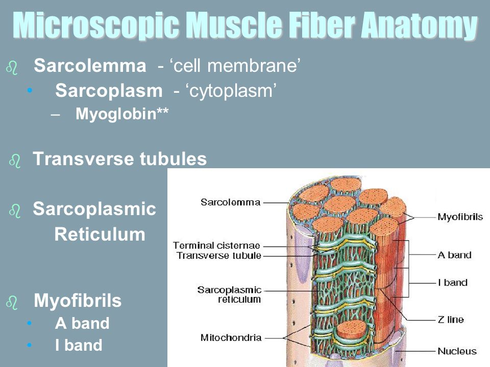Gross Anatomy Of Skeletal Muscle Ppt Video Online Download