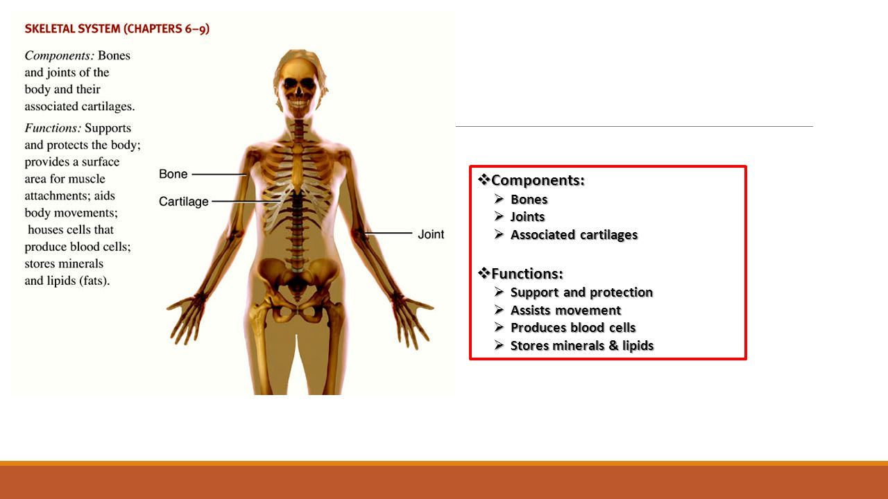 Modern Anatomy Study Aids Composition - Anatomy and Physiology ...
