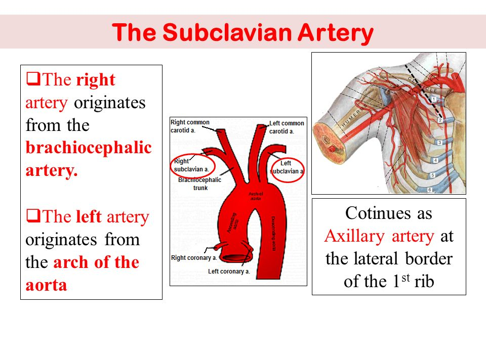 VASCULAR Anatomy of the upper limb - ppt video online download
