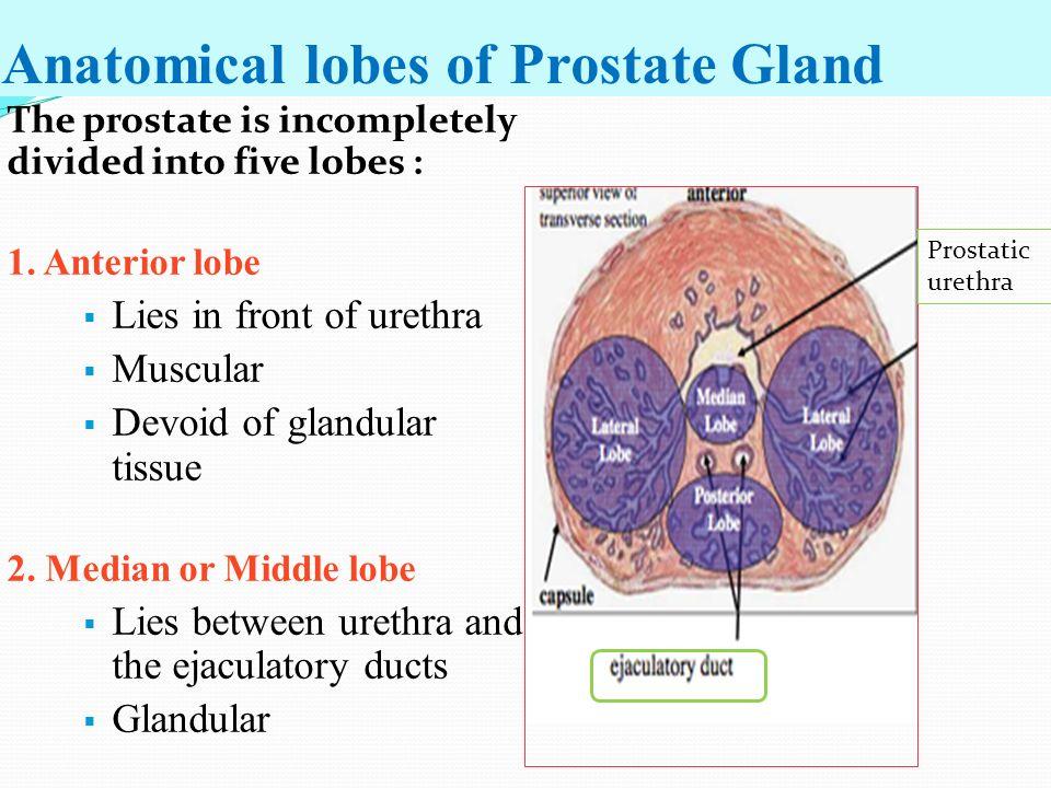 prostate gland anatomy lobes Otthoni módszerek a prosztatitis kezelésére