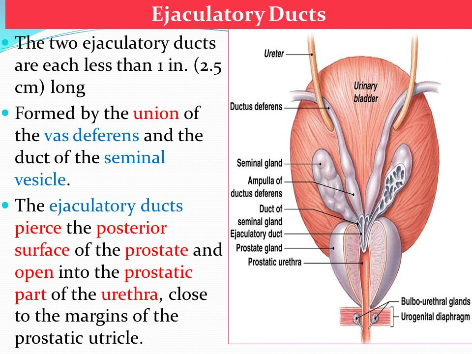 Prostate, seminal vesicle and ejaculatory duct - ppt video online ...