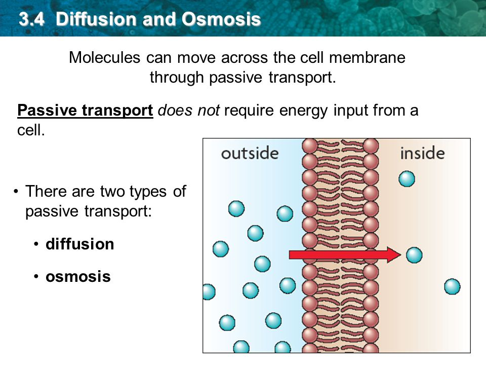 diffusion across cell membrane Eukaryotic cells, including plant cells and animal cells, also contain membrane-bound organelles that are surrounded by one or two layers of plasma membrane for example, both mitochondria and chloroplasts are enclosed by two layers of membranes - called the 'outer membrane' and the 'inner membrane.