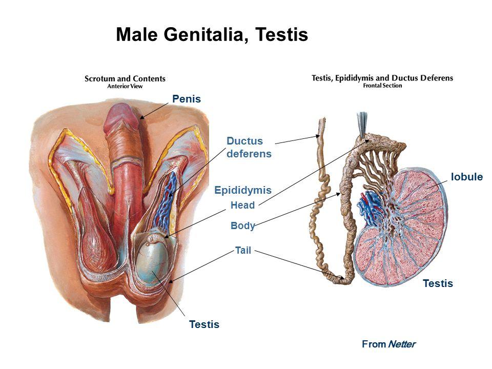 Male Reproductive System Laboratory Orientation - ppt video online ...