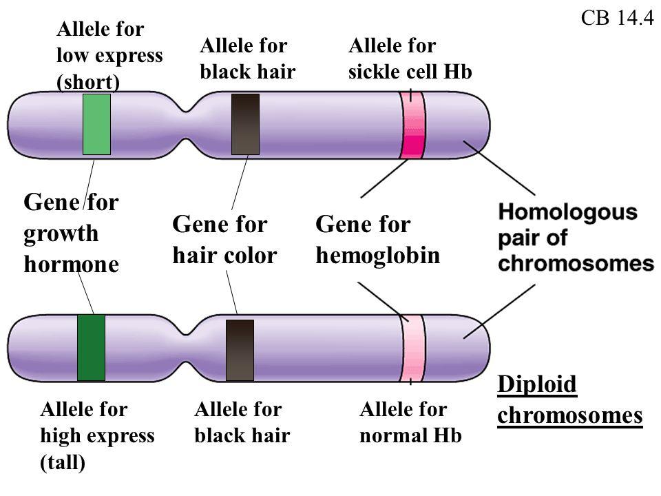 Allele Diagram Hair Color Diy Enthusiasts Wiring Diagrams