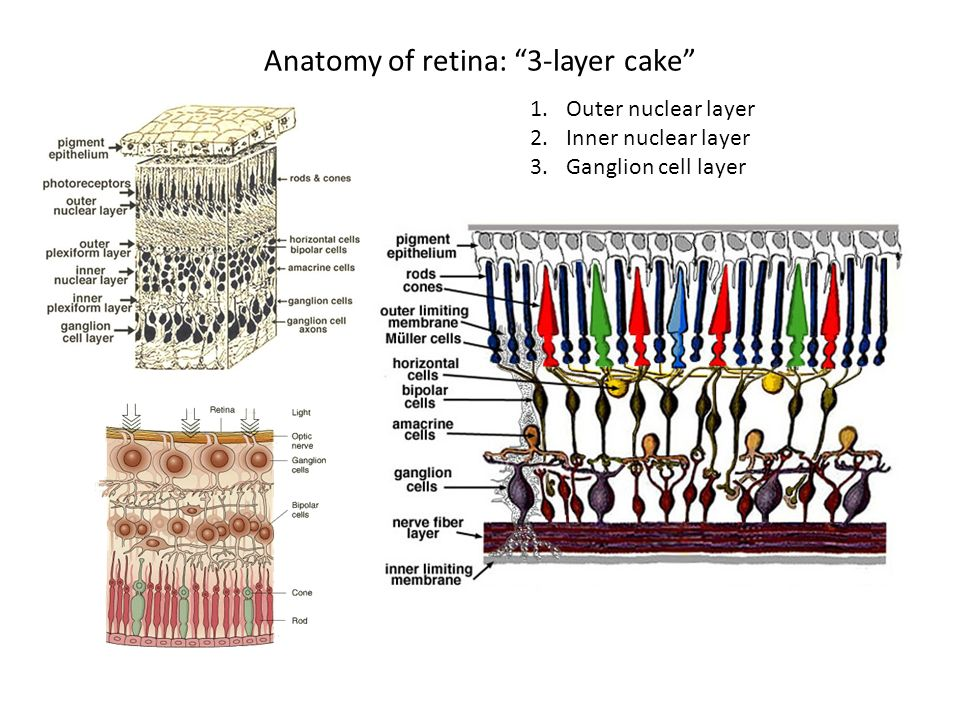 Organization of the Retina - ppt video online download