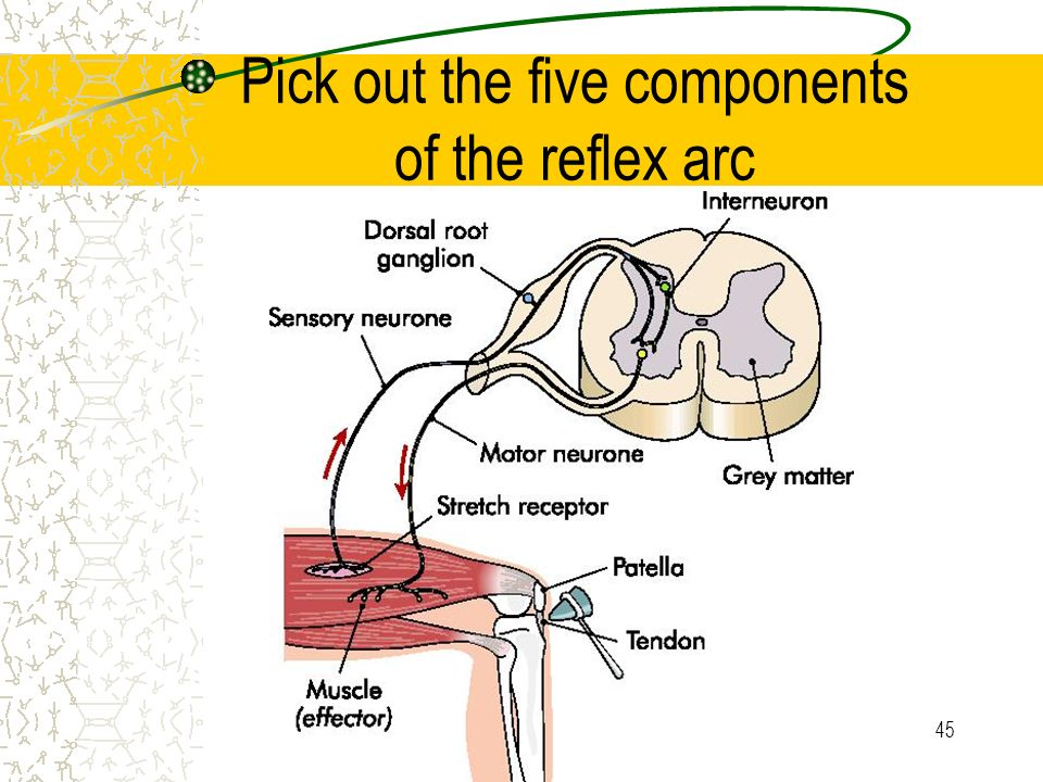 5 components of reflex arc