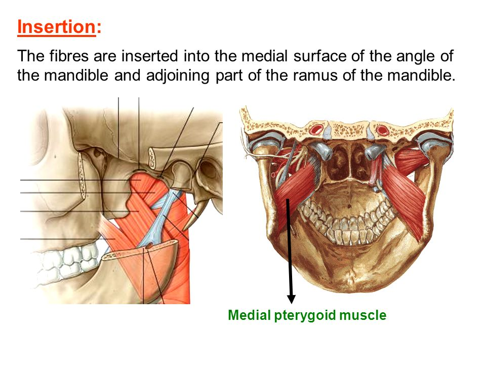 Muscles of Mastication - ppt video online download
