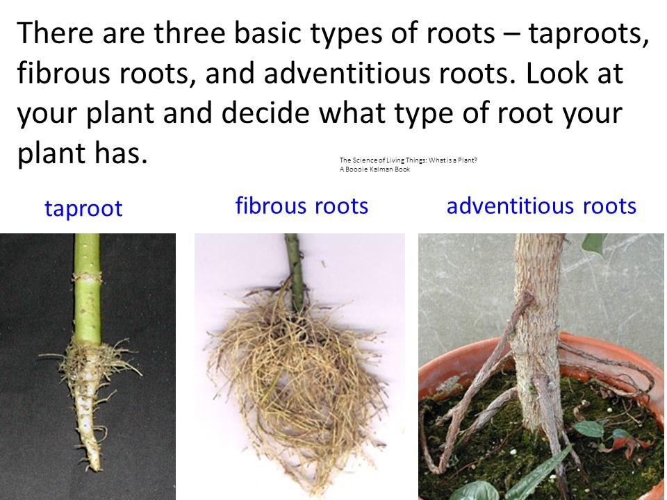 Roots, Stems, and Leaves Plants differ in shape and size ...