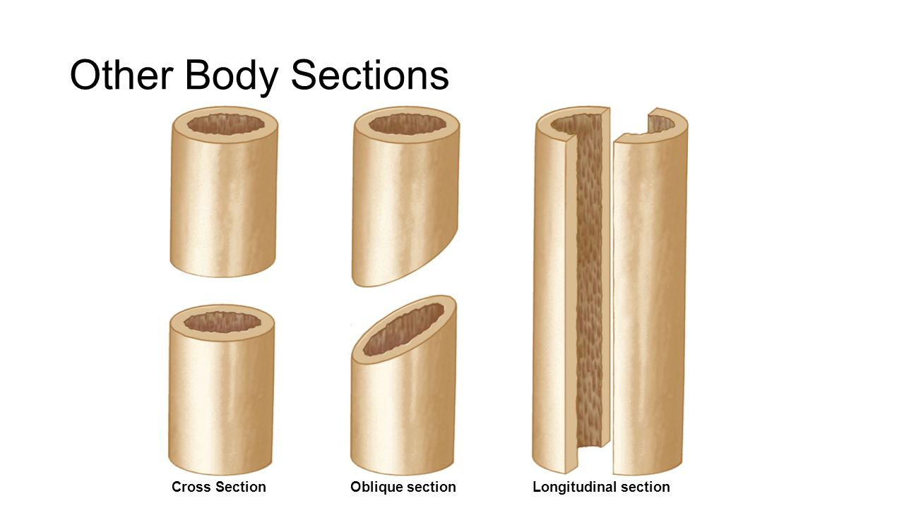 Longitudinal Section Anatomy Images Human Body Anatomy