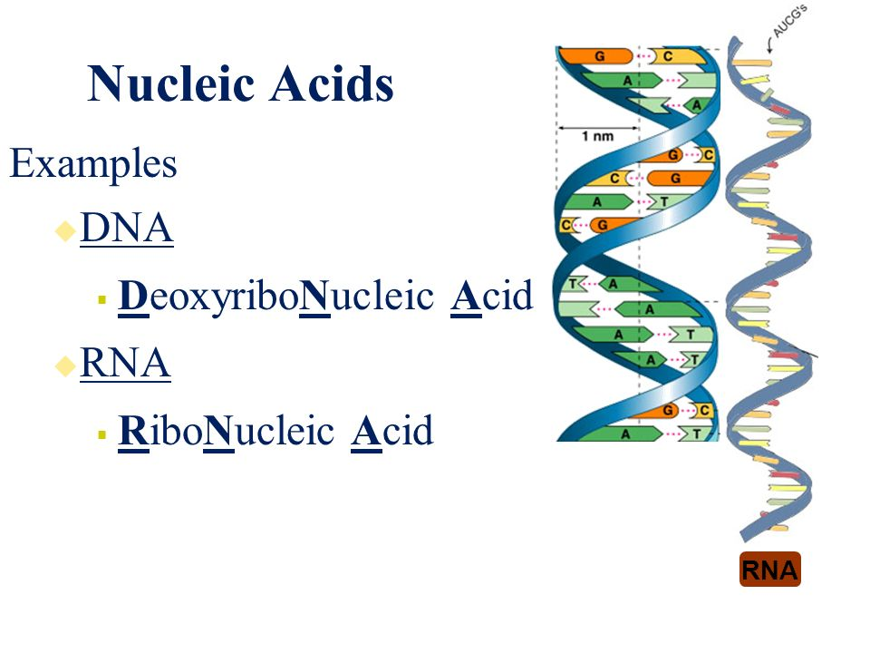 Nucleic Acids Examples Gallery Example Cover Letter For Resume