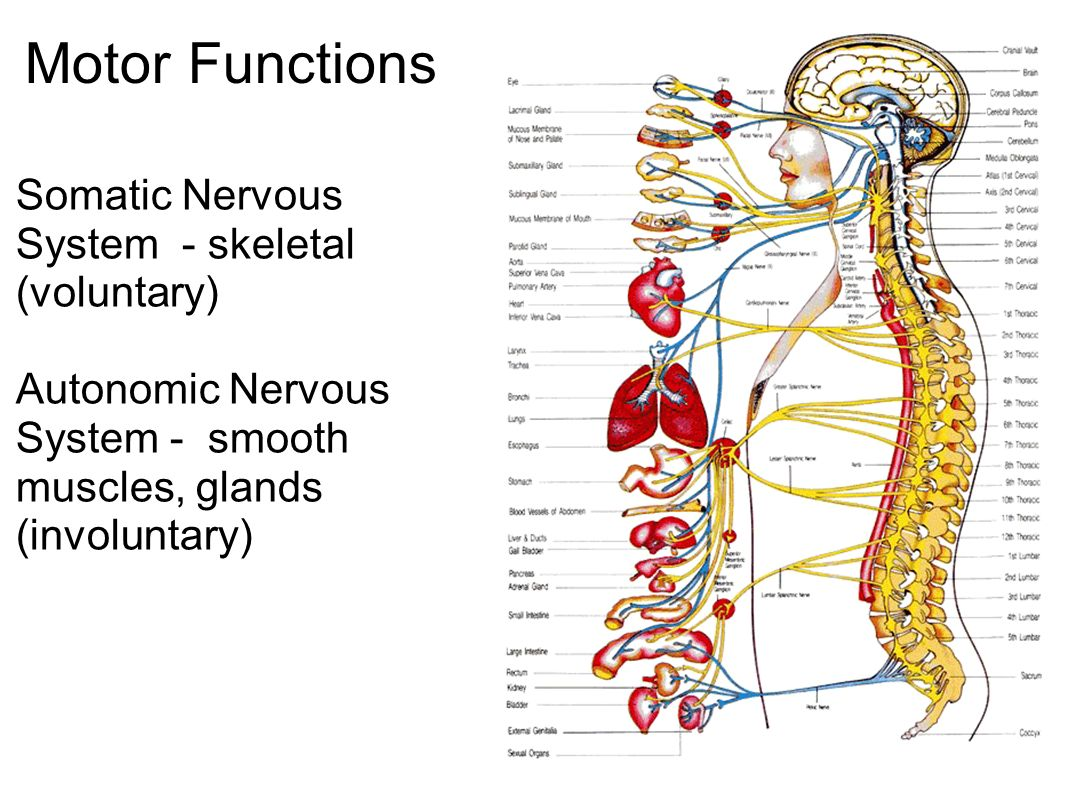 the nervous system : communication - ppt download