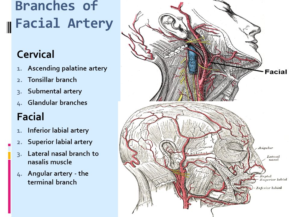 Chpter 4 The Face Vascular System Of Head Neck Ppt Video Online
