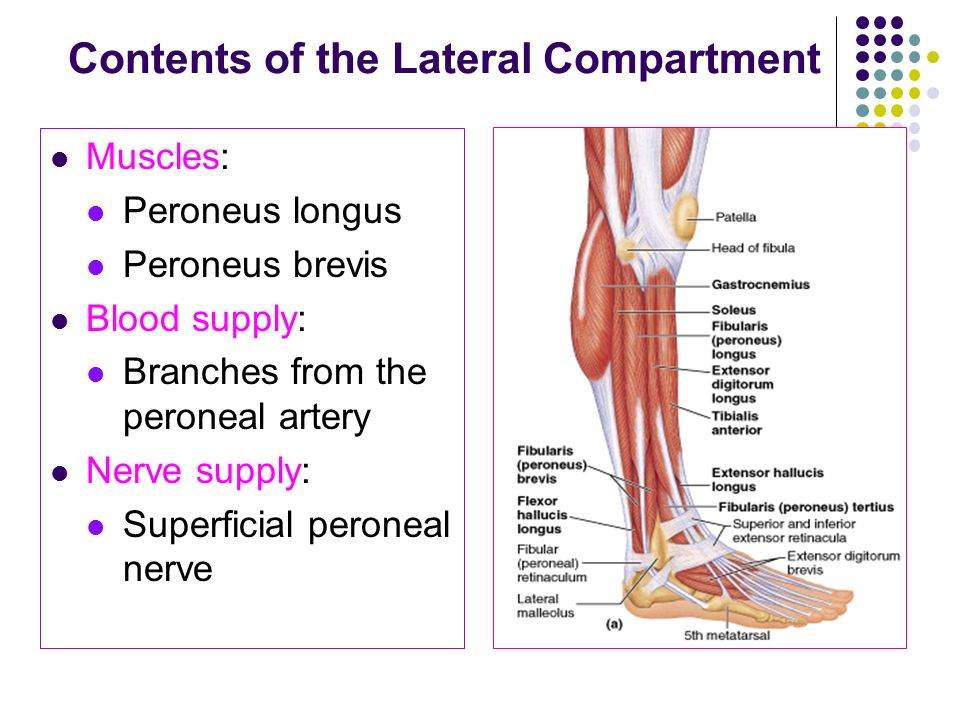 Fascial Compartments of the Leg - ppt video online download