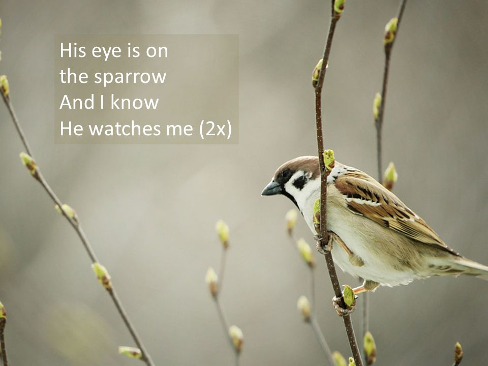 His Eye Is On The Sparrow - ppt download