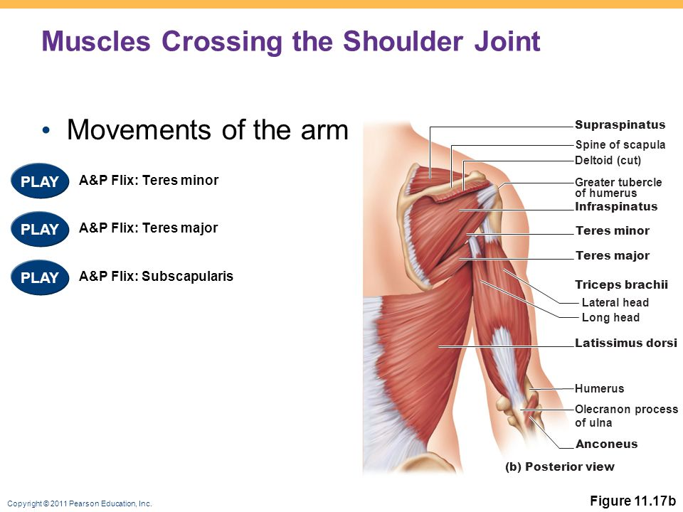 11 Muscles of the Body. - ppt video online download