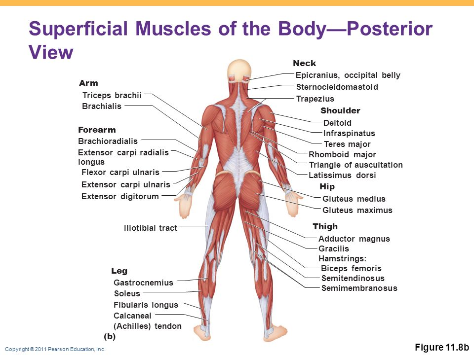11 Muscles Of The Body Ppt Video Online Download