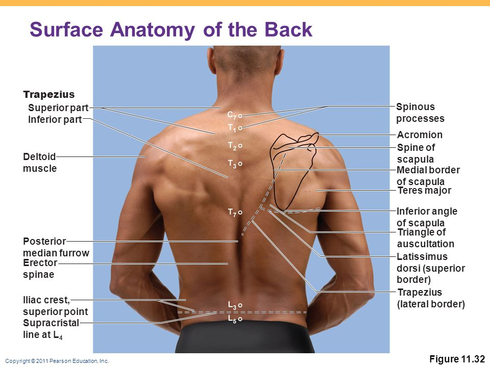 Surface Anatomy Diagram Pearson Great Installation Of Wiring Diagram