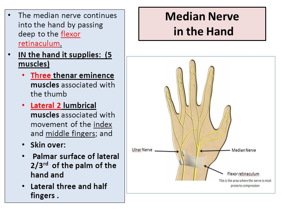 Awesome Median Nerve Anatomy Ppt Pattern - Anatomy And Physiology ...
