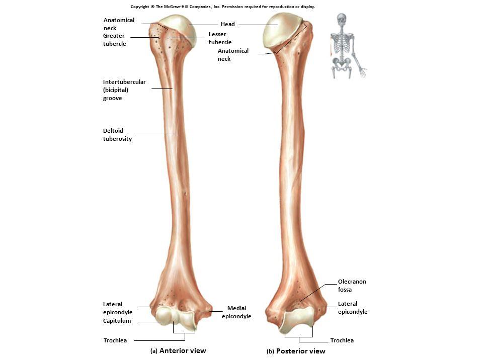 Contemporáneo Lateral Human Anatomy Colección - Imágenes de Anatomía ...