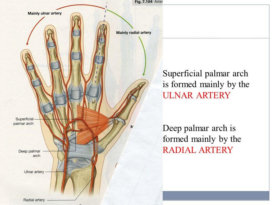 Upper Limb, part II Cubital fossa, Forearm, and Hand - ppt video ...