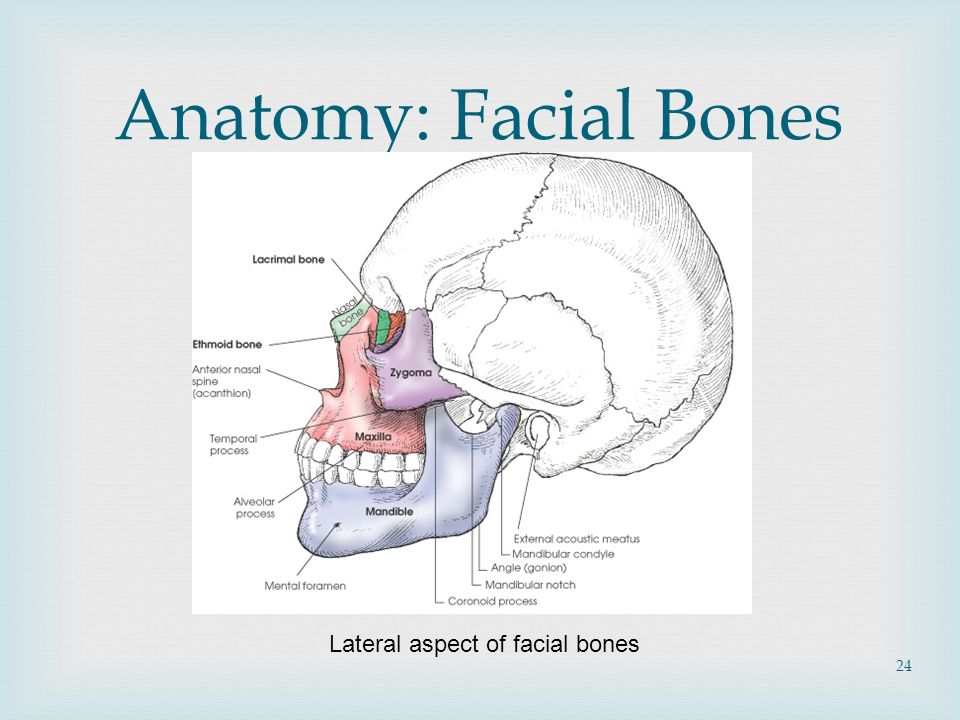 Facial Bone, Nasal Bone Anatomy, Facial Bone, Nasal Bone Projections ...