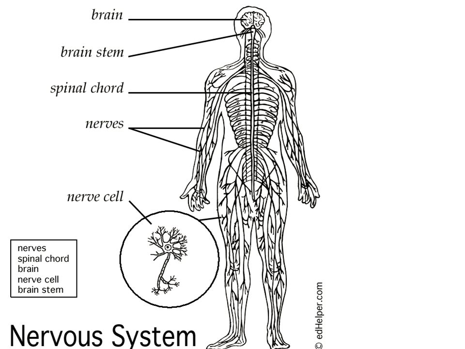 Nervous system 6th grade health ppt video online download 21 nervous system diagram wlabels ccuart Choice Image