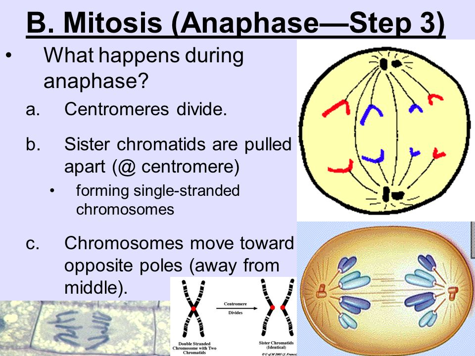 what occurs during anaphase