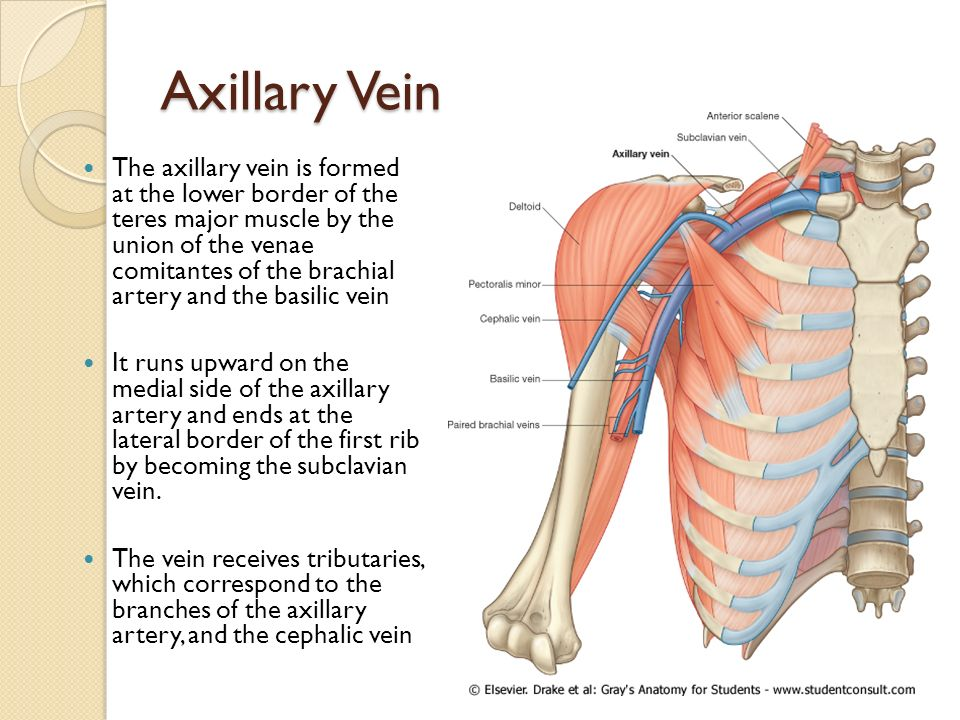 Nice Subclavian Vein Anatomy Images Illustration - Anatomy And ...