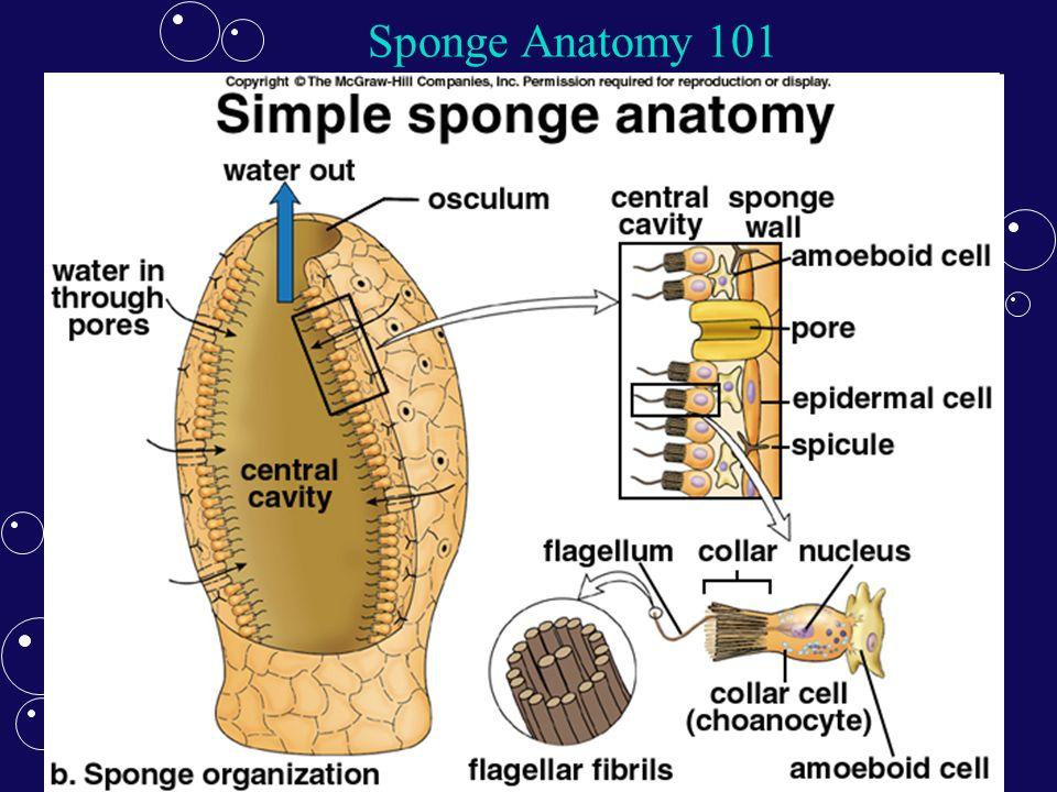 Colorful Sponge Anatomy Diagram Image Collection - Internal organs ...