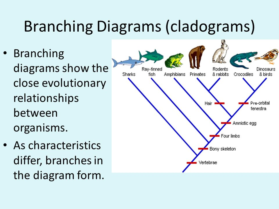 The science of classifying organisms is called taxonomy ppt download 21 branching diagrams ccuart Image collections
