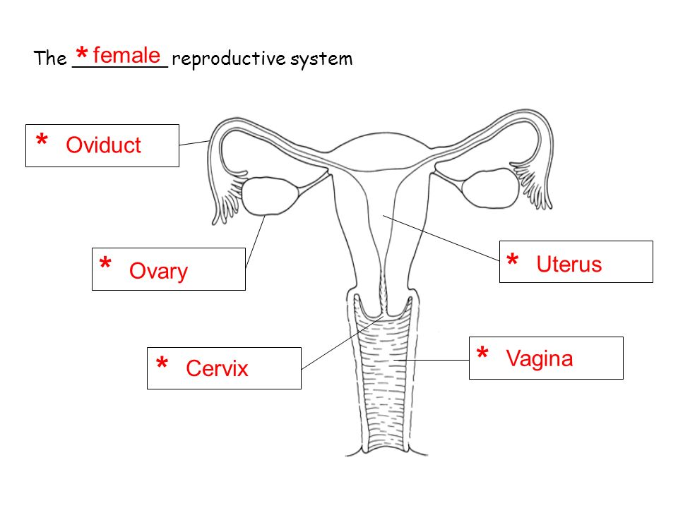 The human reproductive system ppt video online download female oviduct uterus ovary vagina cervix ccuart Image collections