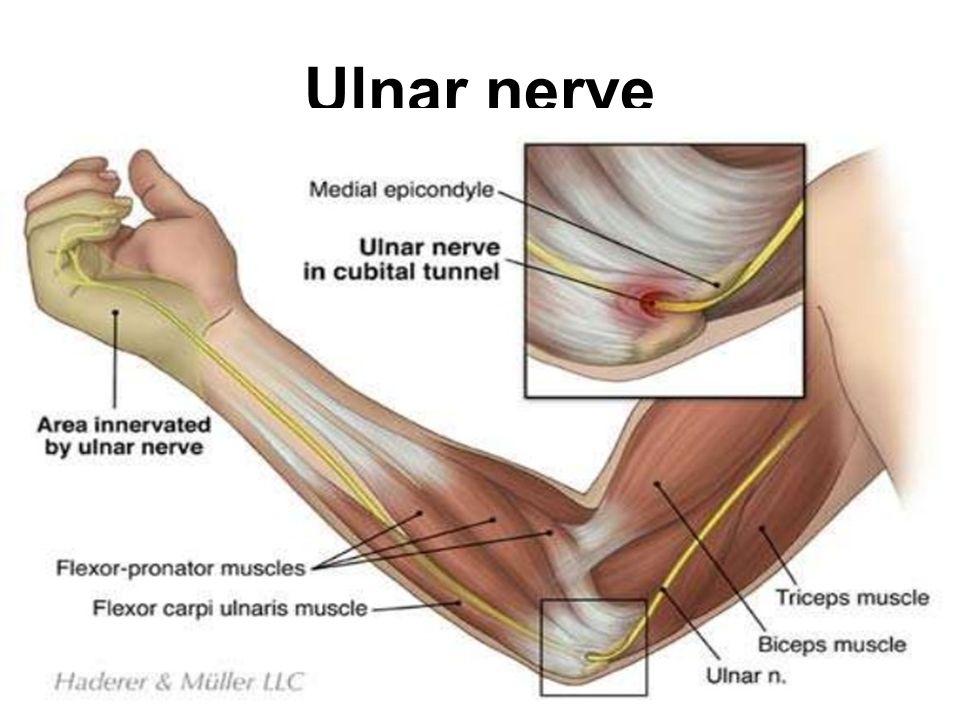 Upper Limb Nerves Part I Dr. Rana Al-tae - ppt video online download