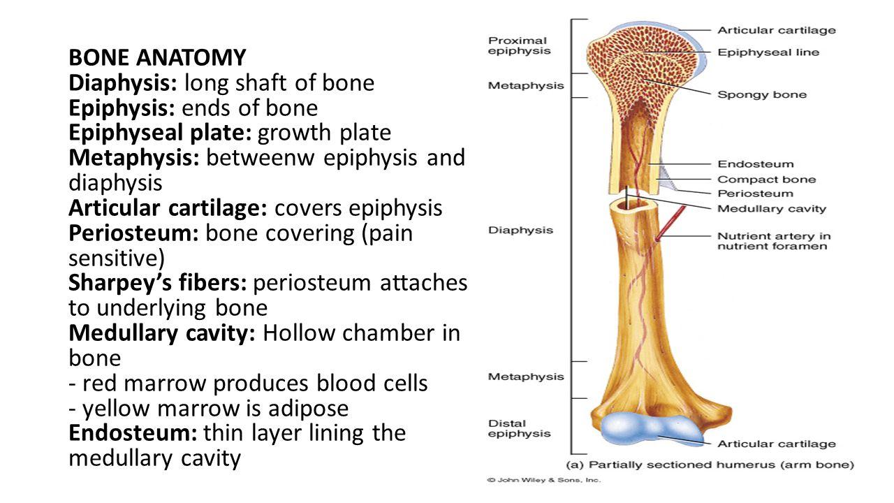 BONE & Cartilage Dr. Twana A. Mustafa. - ppt video online download