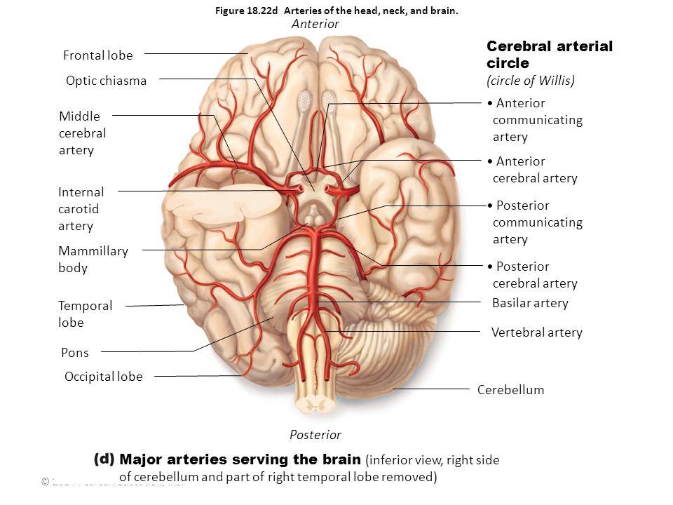 Beautiful Head And Neck Vascular Anatomy Embellishment - Human ...