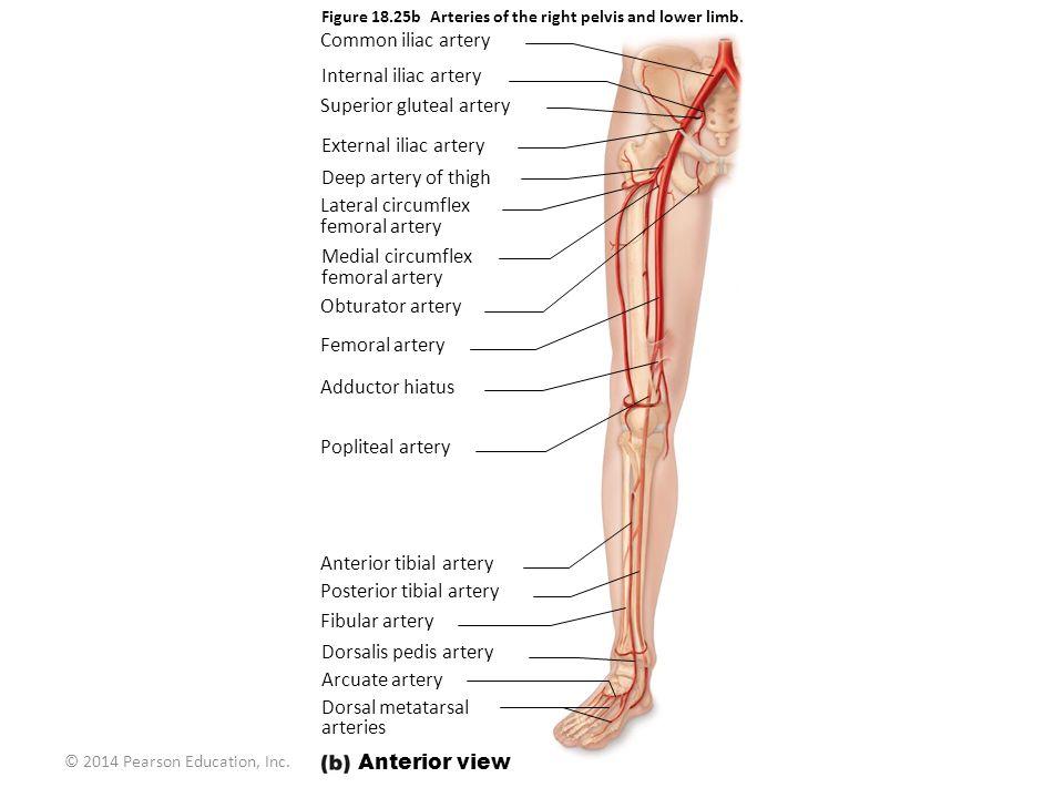 Awesome Dorsalis Pedis Artery Anatomy Photos Anatomy And