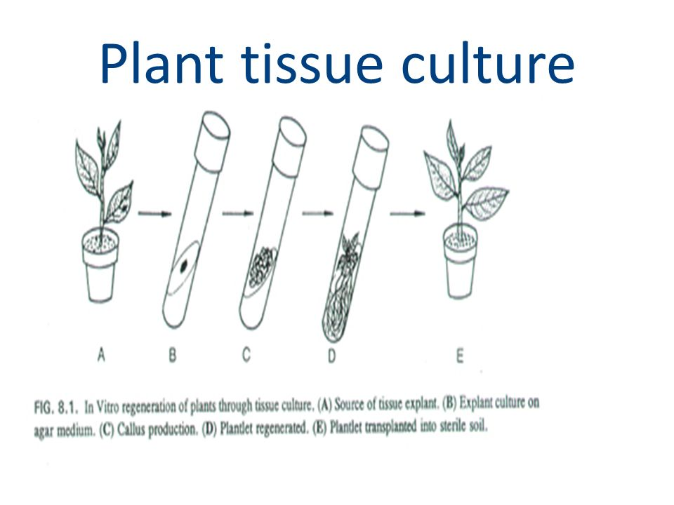plant tissue diagram The plant cell—tissue systems, tissues, and cells 1 review of the plant body 2 the three tissue systems 3 tissues that make up the tissue systems 4.