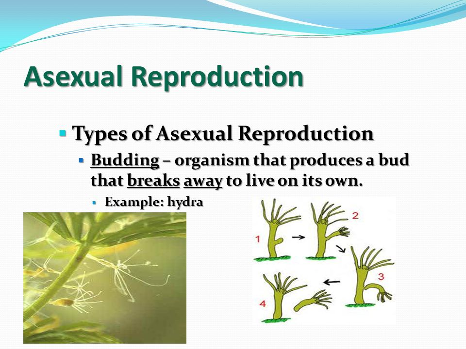 Dofin asexual reproduction
