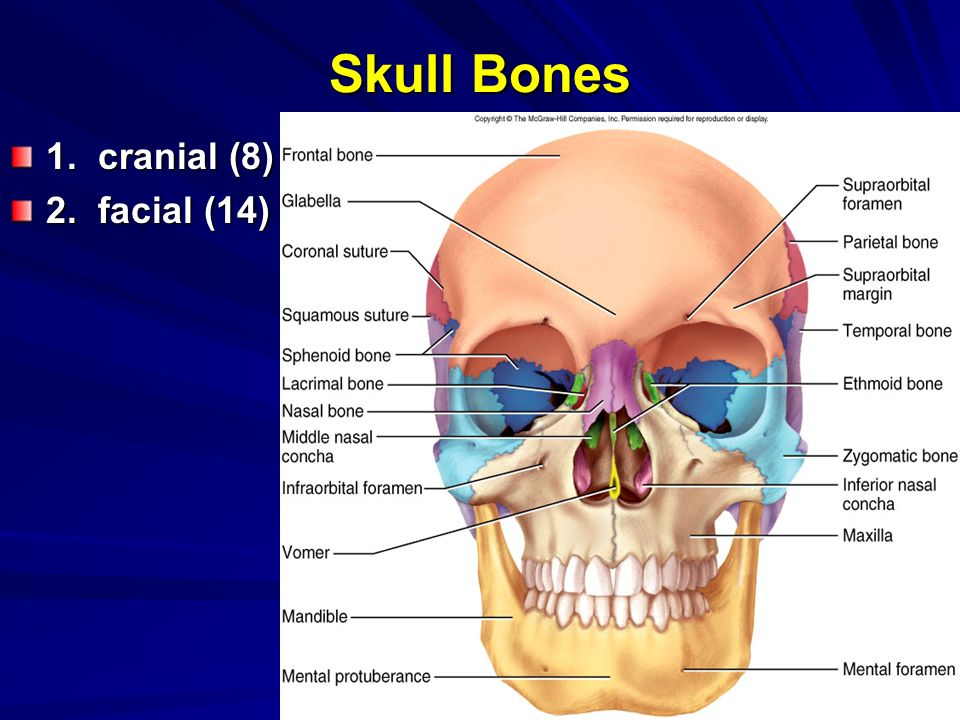 A Divisions Of The Skeletal System B Skull 1 Sutures 2 Fontanels