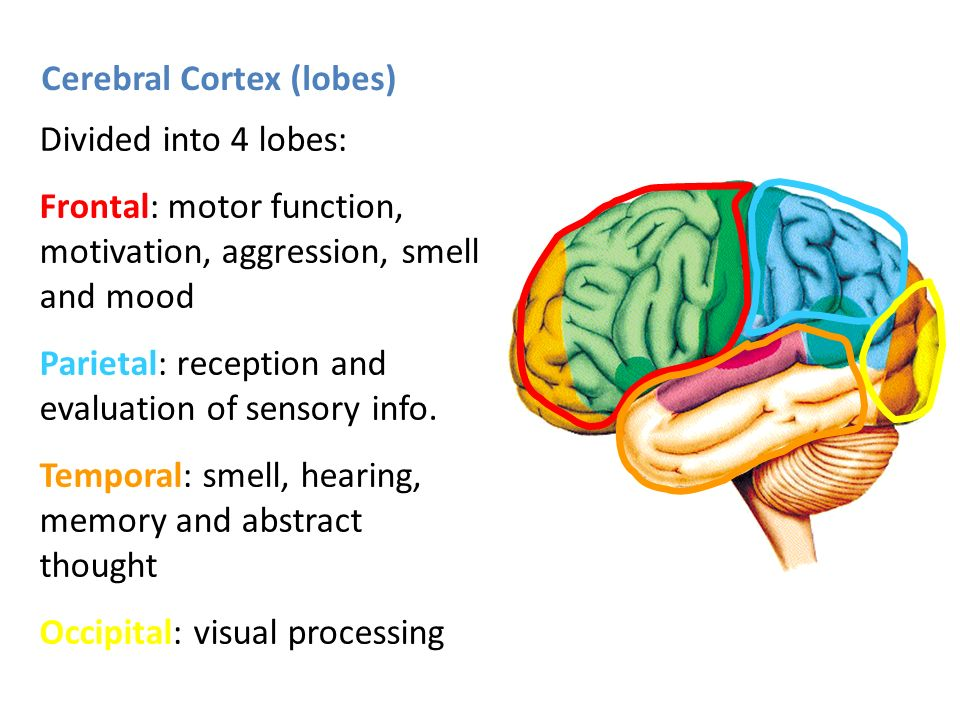 Cerebral Cortex -The largest division of the brain - ppt video ...