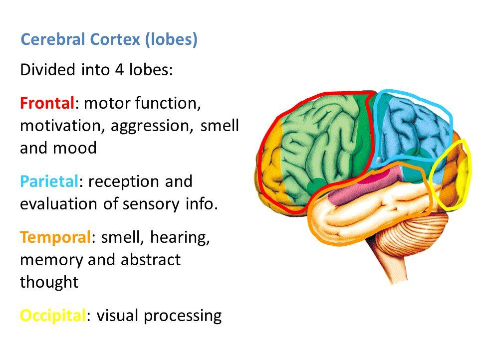 3 cerebral cortex